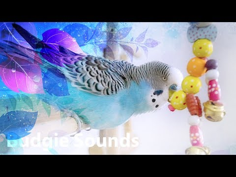 My Budgie sounds  Compilation June 2018