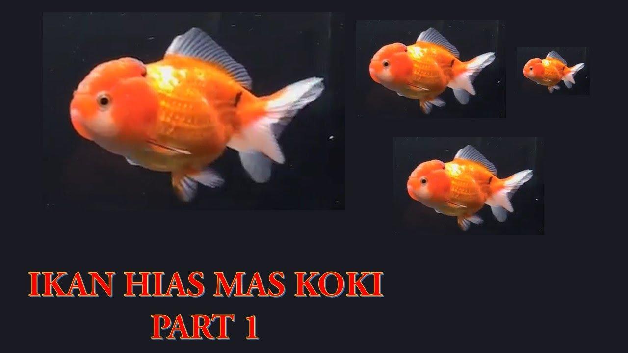 Ikan Mas Koki Sangat Banyak Part 1 Youtube
