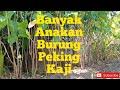 Penampakan Burung Langka Yang Ada Di Indonesia  Mp3 - Mp4 Download