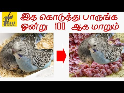 Quick Breeding food for #budgies #finches #lovebirds #Cockatiels in All Birds - Tamil