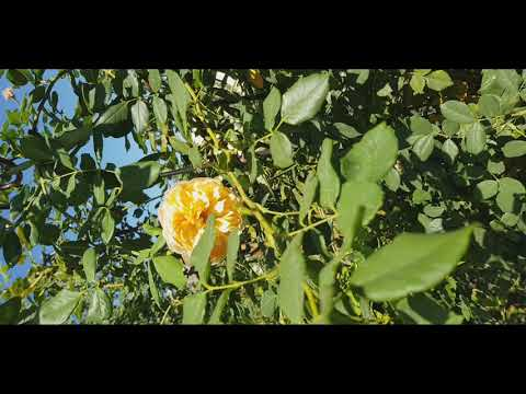Кто ест побеги и листья роз