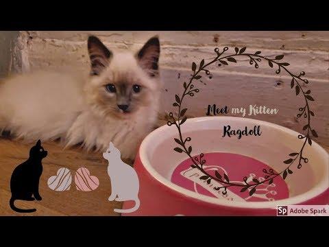 Meet my Ragdoll  Kitten 💙