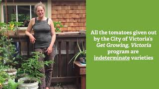 Tomato Trellising and Suckering