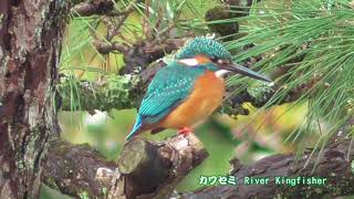カワセミ River Kingfisher