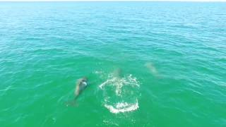 DJI Drone Video of Splashing Wild Dolphins in Gulf Shores - 4K