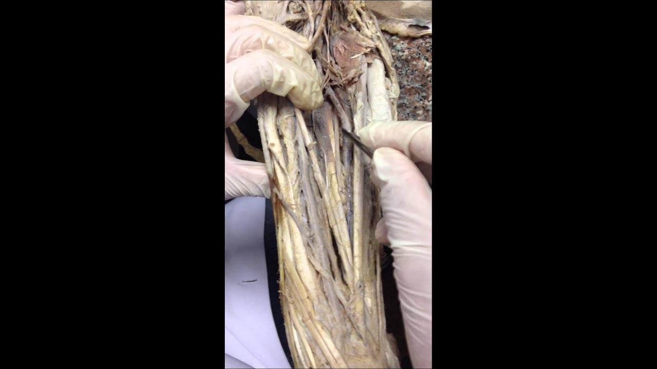 venasy arterias del brazo