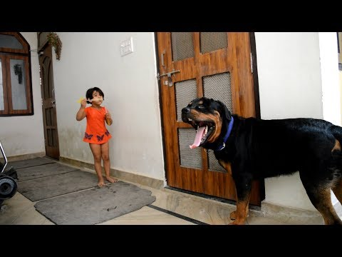 Bubble game : play with huge Rottweiler