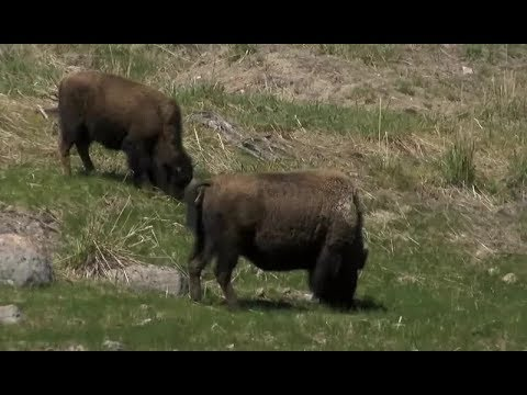 Yellowstone bison could soon be headed to tribal lands