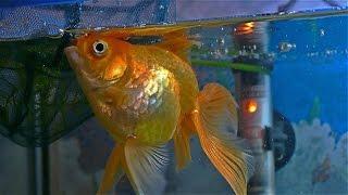 ❤️ Мои Золотые рыбки ❤️ Минутка релакса и вдохновения