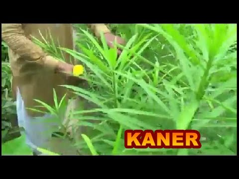 How to grow oleander kaner youtube how to grow oleander kaner mightylinksfo