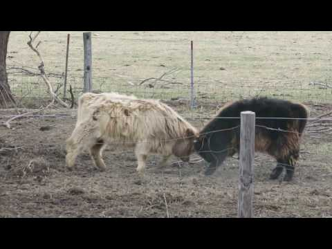 Young Highland Cattle Playing.