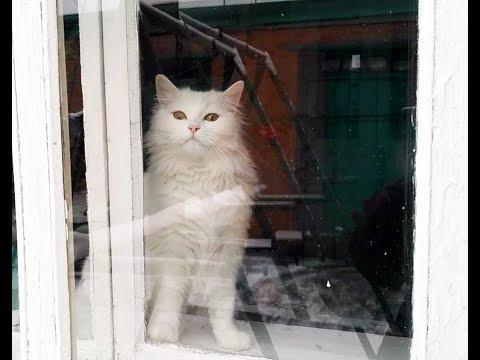 Turkish angora - Funny Cute white cat