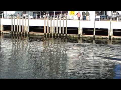 Dolphins in Constitution Dock, Hobart