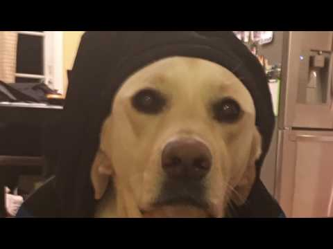 My Labrador Retriever