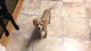 Hilarious: Angry Puppy Pinto Demands A Treat (training For Barking At Mealtimes)