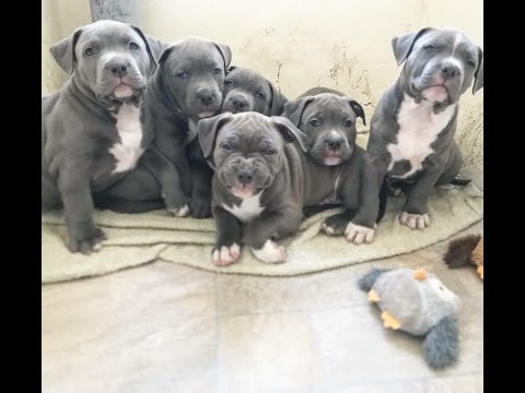 Top Quality American Bully Puppies For Sale American Bully By Dogsbreedofficial Youtube