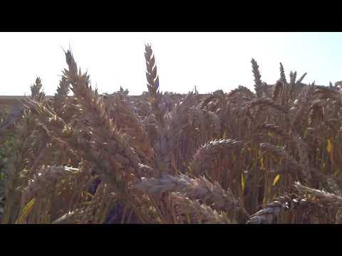27.07.2018. Яровая пшеница,  сорт Ликамеро.
