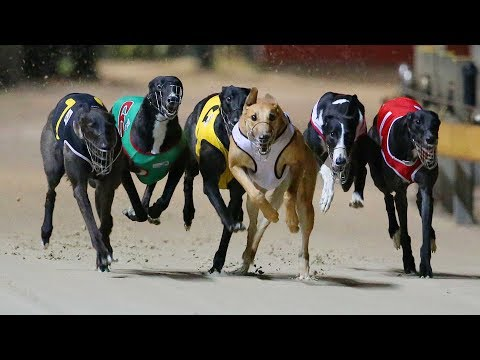 Dog Racing - Greyhounds
