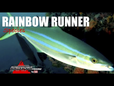 The Rainbow Runner - Species [ASFN Fishing]
