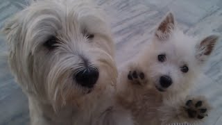 Westie Puppy Play With An Adult Westie