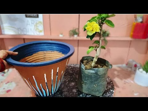 How To Grow Hibiscus Plant In A Pot My New Variegated Hibiscus
