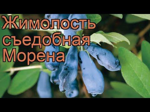 Жимолость съедобная Морена (lonicera edulis morena) 🌿 обзор: как сажать, саженцы жимолости Морена
