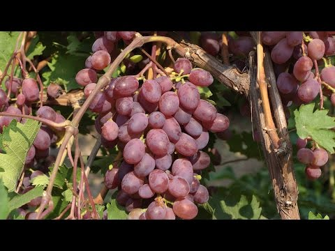 Виноград Виктория красный виноград