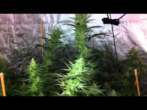 Veganic LED Chernobyl and Cheesequake grow
