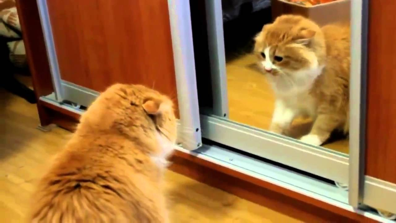 Angry Cat Fights Himself In The Mirror Youtube