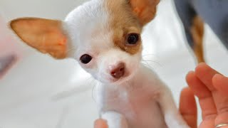🐶目の小さい400gの極小チワワの子犬をお迎えしました