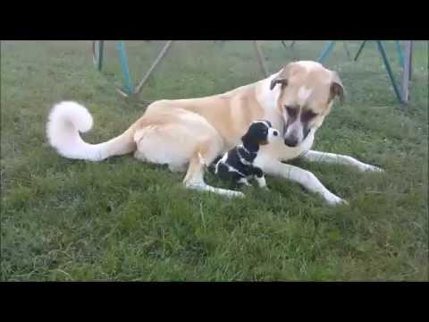8 Week Old Cavalier King Charles VS Anatolian Shepherd