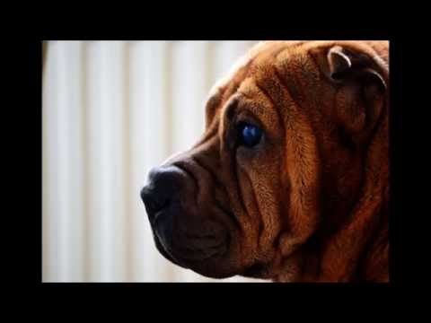 My dogs - pictures from Amsterdam - QT (Shar Pei) en Lotje (Boomer)- shot with Nikon D3100
