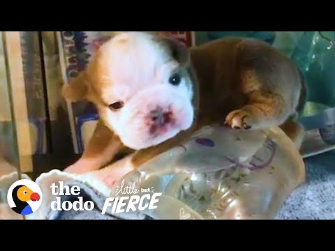 Watch This Itty Bitty Bulldog Grow Up In an Incubator  Then Burst Out! | The Dodo Little But Fierce