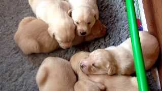 Labrador Puppies For Sale - 01945 430886 - Naughtland Working Labradors Uk