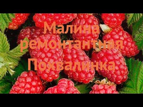 Малина ремонтантная Похвалинка (rubus idaeus) 🌿 обзор: как сажать, саженцы малины Похвалинка