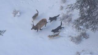 Ungulato in fuga da 5 Lupi (rallenty) Canis Lupus Italicus
