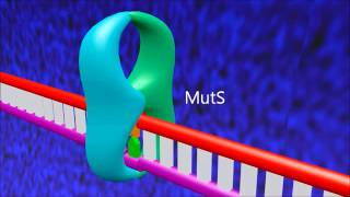 A 3D animation of mismatch repair in E. coli