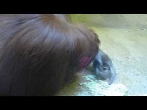 Part 2: Orangutan Commences Eating The Regurgitated Vomit, Panasonic LX7