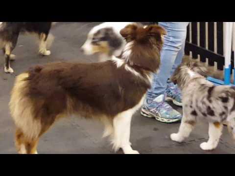 Australian Shepherds at Toronto Pet Expo 2017