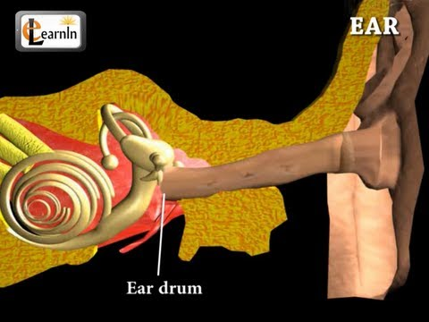 Ear Anatomy | Inside the ear | 3D Human Ear animation video | Biology | Elearnin