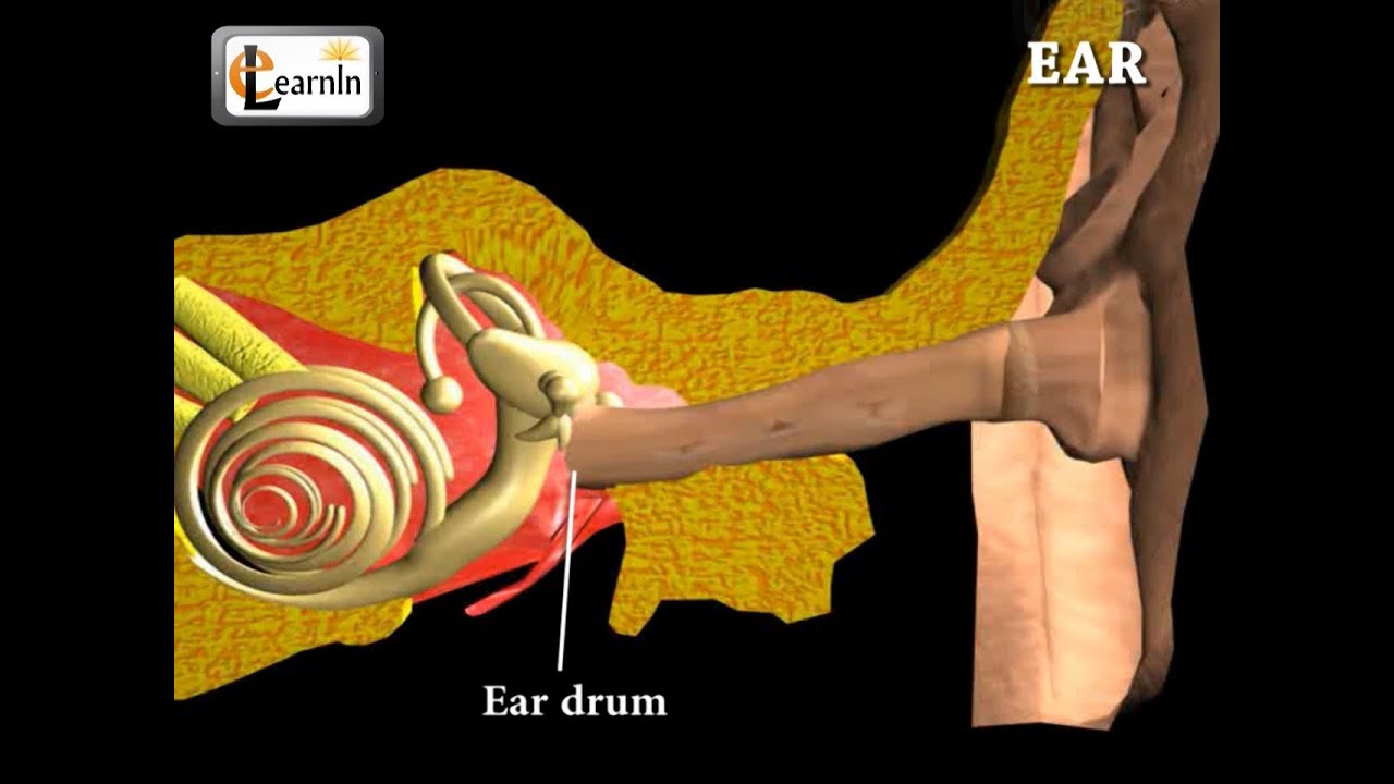 Ear Anatomy | Inside the ear | 3D Human Ear animation video ...