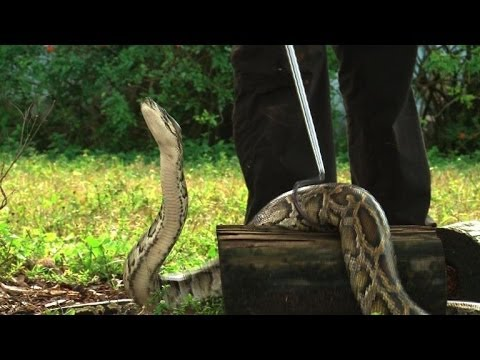 Burmese pythons swarm South Florida