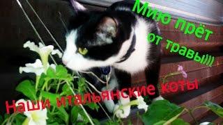 Наши итальянские коты: Мию прёт от травы)))