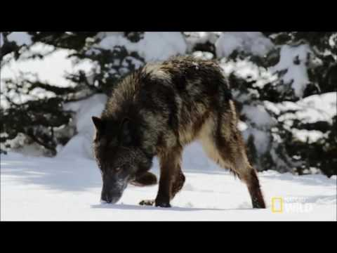 Spirit Animal ~ Wolf ~ Native American  - Niall