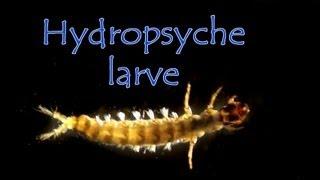 Siltalai hydropsyche