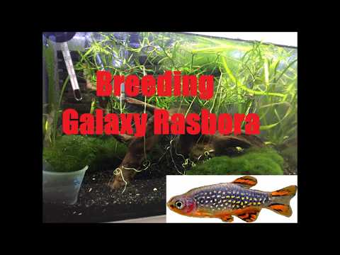 Neon Green Rasbora, Microdevario kubotai-Species Spotlight ...