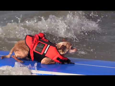 Cute Dogs Surfing in Galveston