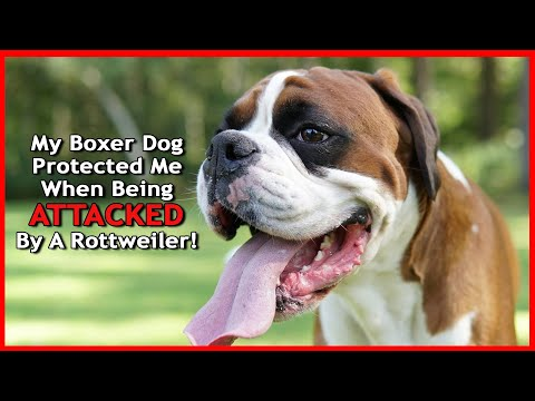 My Boxer Dog Rex And I Were ATTACKED By A Rottweiler Dog!!!!!