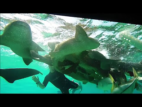 Swimmers experience a shark feeding frenzy close up in Belize