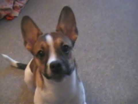 Sparky - The French Bulldog / Jack Russel Mix - YouTube